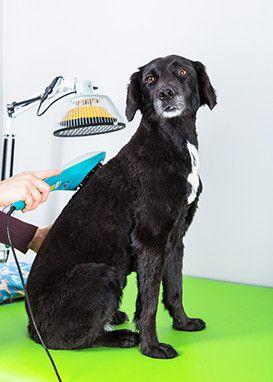 labrador checkup