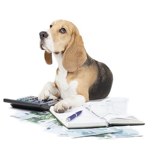 beagle studying