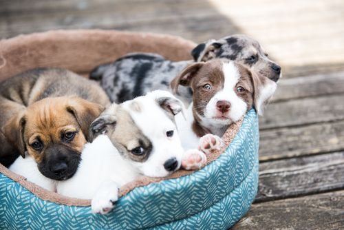 Picking your Perfect Puppy