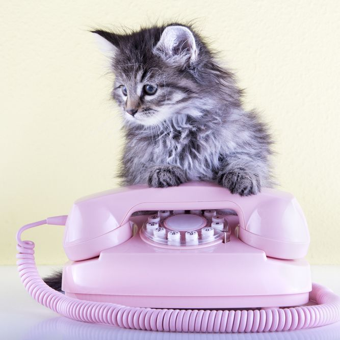cat on top of phone