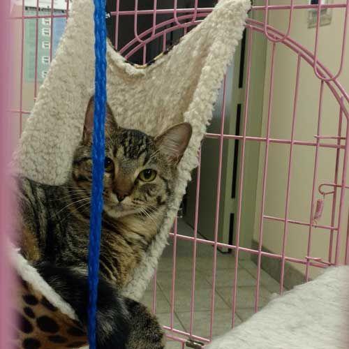 Adopt Kittens in Richardson, TX